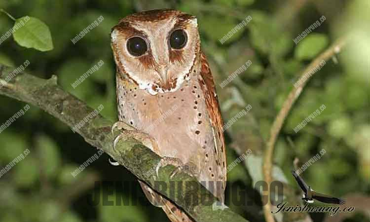 Serak bukit Oriental Bay Owl (Phodilus badius Horsfield)