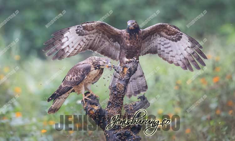 Sikep Madu Asia, Oriental Honey-Buzzard (Pernis Ptilorhynchus), harga Sikep Madu Asia, makanan elang sikep madu, sikep madu full skill