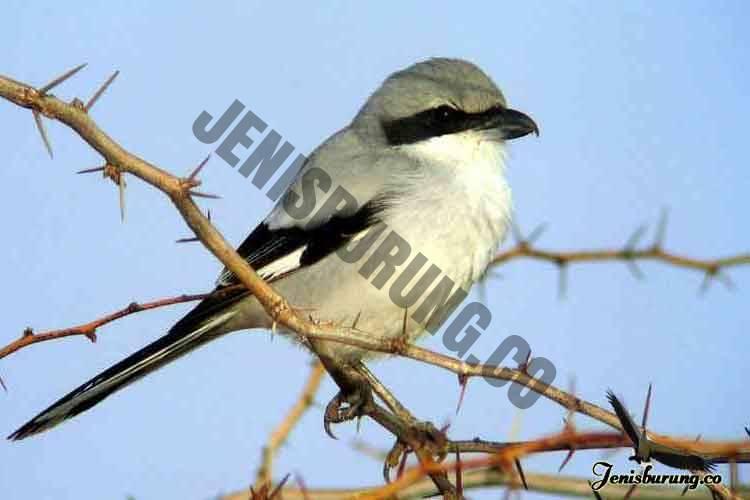 jenis burung cendet Southern grey shrike, Lanius meridionalis