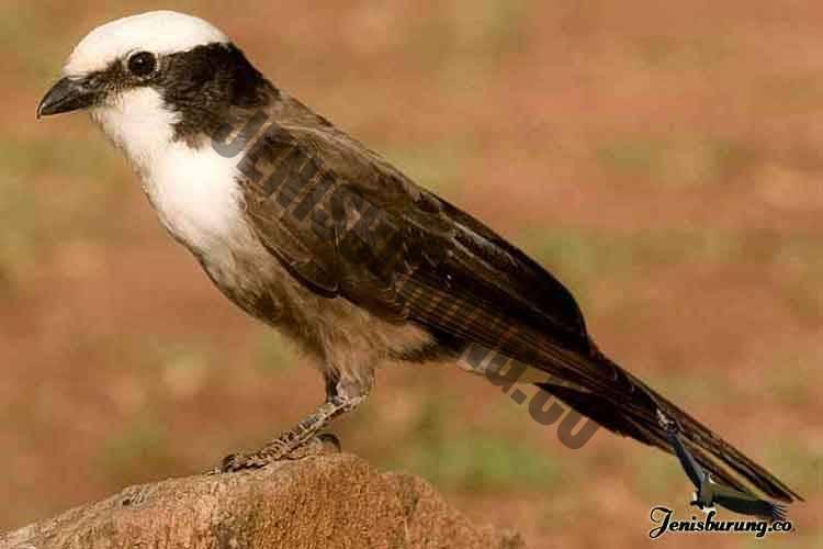 jenis burung cendet Southern white-crowned shrike, Eurocephalus anguitimens