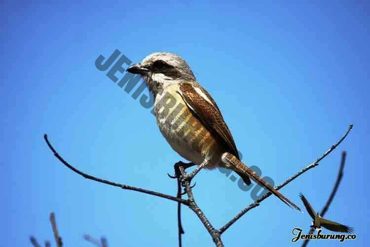 jenis burung cendet Souza's shrike, Lanius souzae