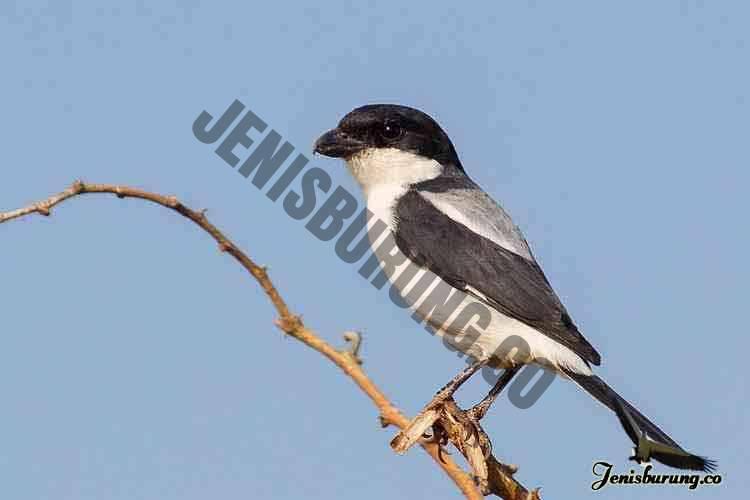 jenis burung cendet Taita fiscal, Lanius dorsalis