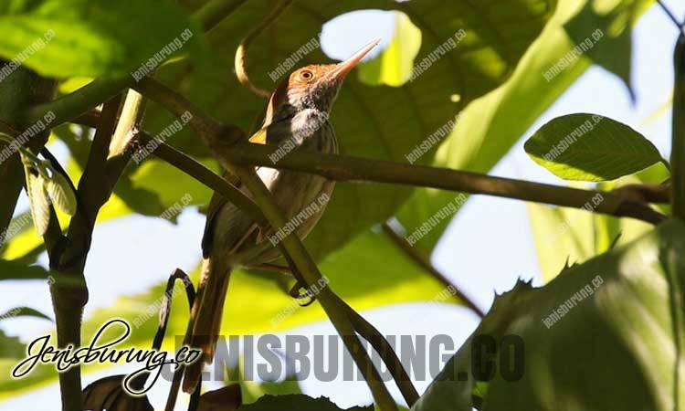 Trilling tailorbird, Green-backed Tailorbird (Orthotomus chloronotus)