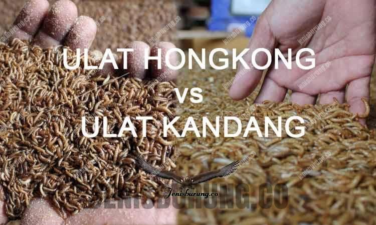 Ulat Hongkong vs Ulat Kandang, Mana Yang Lebih Bagus?