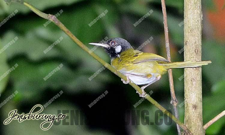 White-eared Tailorbird (Orthotomus cinereiceps)