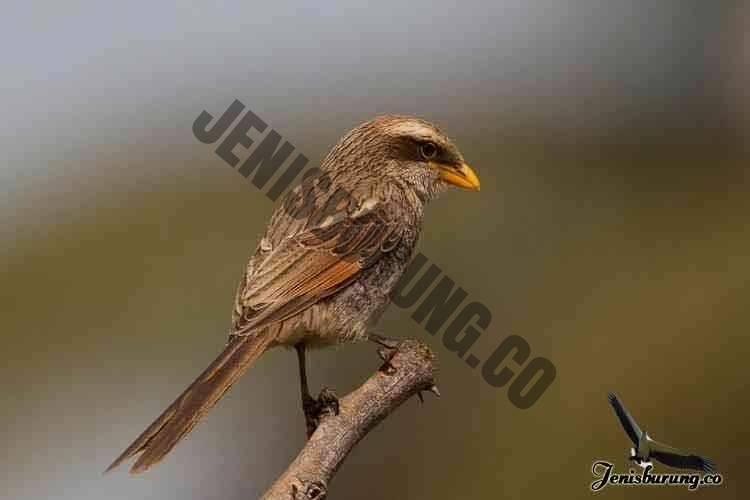 jenis burung cendet Yellow-billed shrike, Corvinella corvina