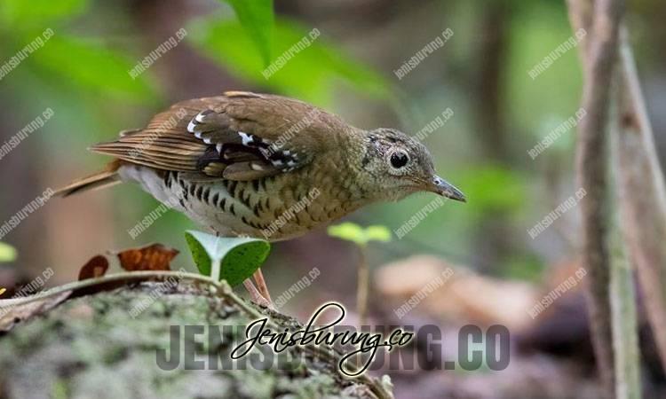anis larat, fawn-breasted thrush, zoothera machiki, suara burung anis larat, perawatan harian anis larat, anis larat gacor dan ngeplong