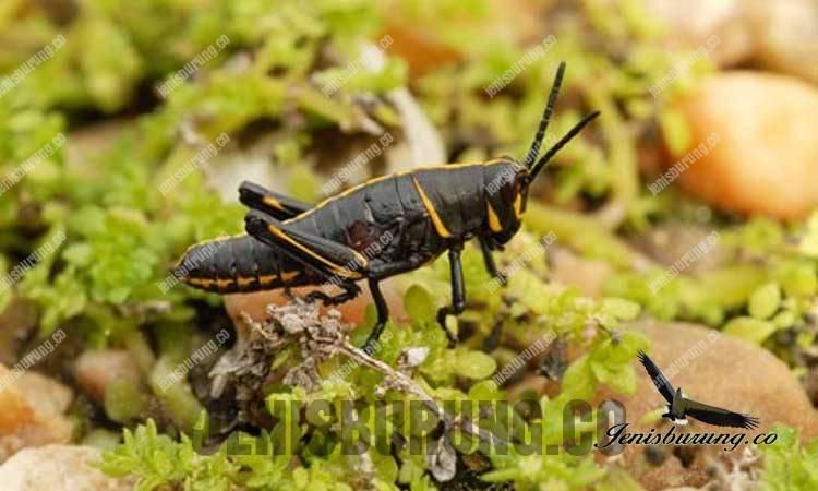 belalang Serangga Berbahaya Yang Bisa Membuat Burung Mati