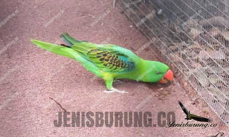 betet kelapa paruh besar, Great-Billed Parrot (Tanygnathus megalorynchos)