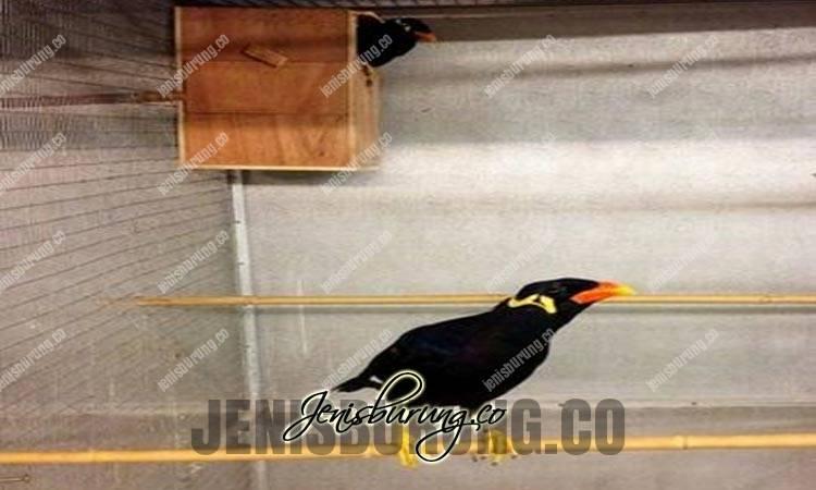 budidaya burung beo, ukuran kandang ternak beo, ukuran kotak sarang burung beo, ukuran glodok burung beo, ternak burung beo