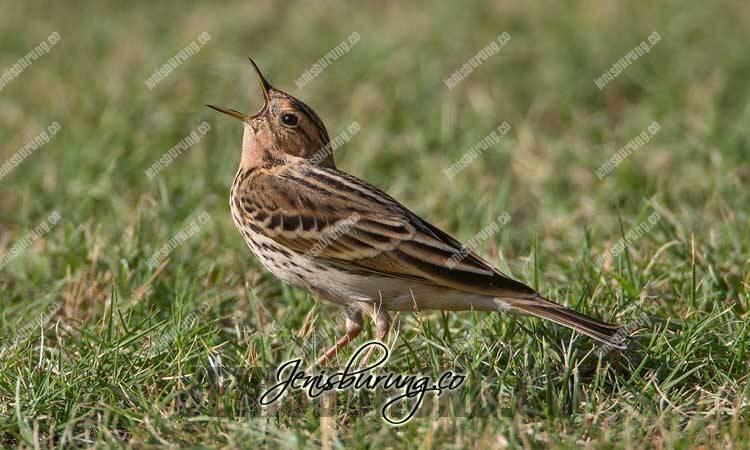 burung apung kijang, red-throated pipit, anthus cervinus, suara apung kijang, apung kijang jantan dan betina, ciri fisik apung kijang jantan, ciri fisik apung kijang betina