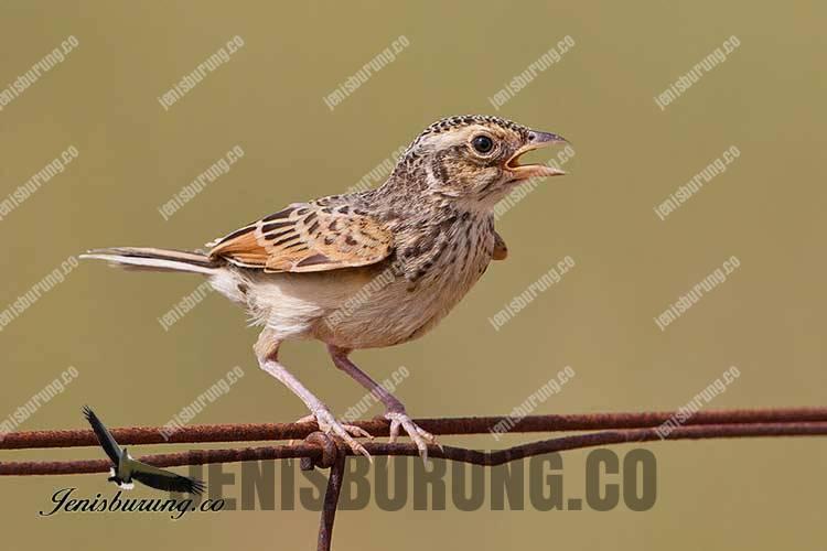 suara burung branjangan jawa Mirafra Javanica