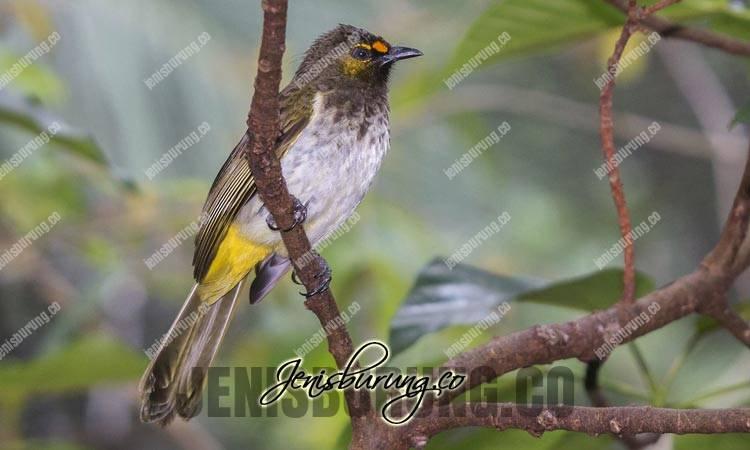 burung cucak gunung, orange-spotted bulbul, pycnonotus bimaculatus, burung cucak wilis, burung cucak rengganis, suara cucak gunung, suara cucak wilis, suara burung rengganis