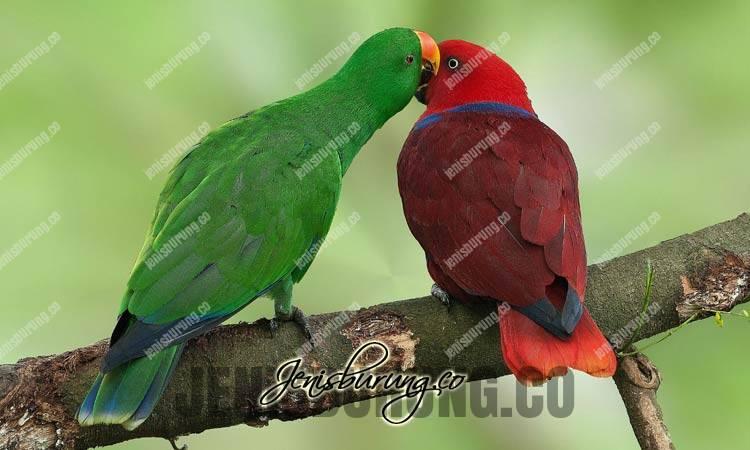 burung nuri bayan, eclectus parrot, eclectus roratus, suara nuri bayan, makanan yang bagus untuk nuri bayan, harga nuri bayan, perbedaan nuri bayan vosmaeridan roratus, merawat nuri bayan