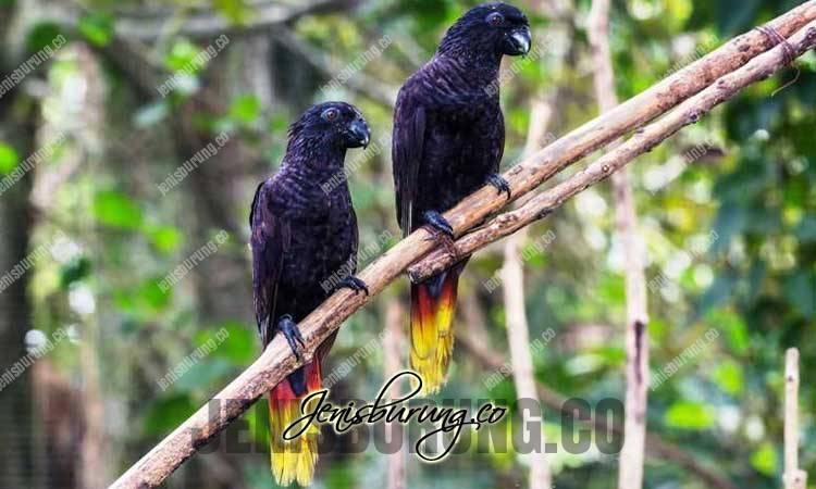 burung nuri hitam, black lory, chalcopsitta atra, harga nuri hitam, cara merawat nuri hitam, ternak nuri hitam, suara nuri hitam