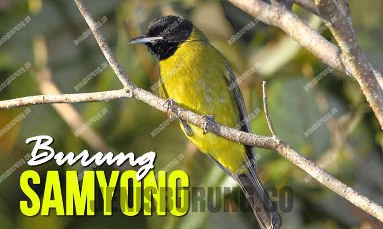 suara samyong Bare-throated Whistler (Pachycephala nudigula)