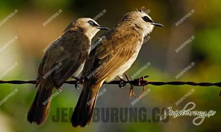 burung trucukan, burung merbah cerukcuk, trucukan gacor, agar trucukan cepat gacor ropel nggaruda, Trucukan, Yellow-vented Bulbul Pycnonotus Goiavier