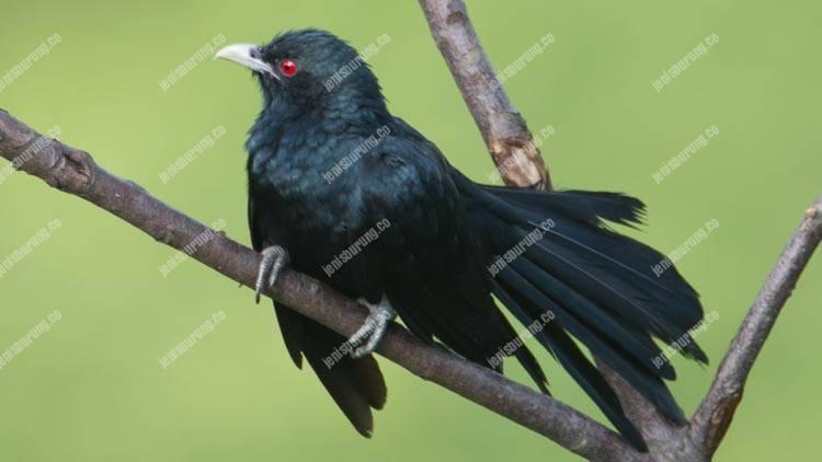 burung tuwu, asian koel, eudynamys scolopaceus, suara burung tuwu, harga burung tuwu, perawatan harian burung tuwu, ternak burung tuwu, burung tuwu jantan dan betina