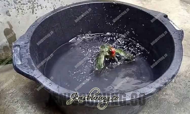 cara melatih lovebird berenang, latihan renang lovebird, meningkatkan napas lovebird, lovebird ngekek panjang