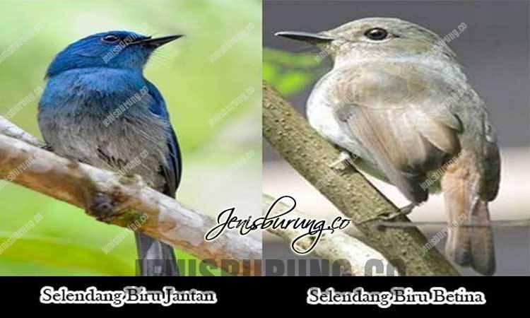 cara membedekan selendang biru jantan dan betina, ciri ciri selendang biru jantan dan betina, perbedaan selendang biru jantan dan betina