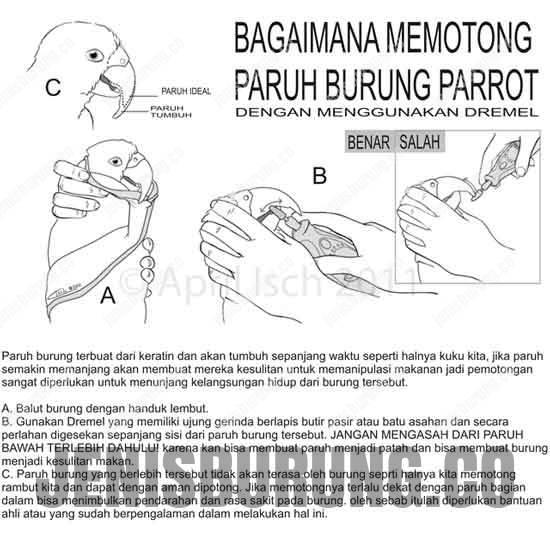Cara memotong Lovebird Paruh Gajah