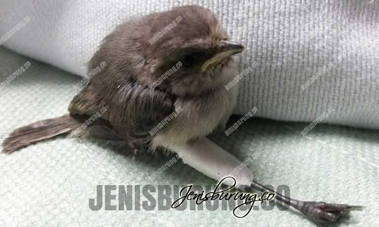 cara mengatasi kaki burung patah, menyambung patah kaki burung, menyembuhkan burung patah tulang, mengobati burung patah kaki, merawat burung patah kaki, kaki patah pada burung