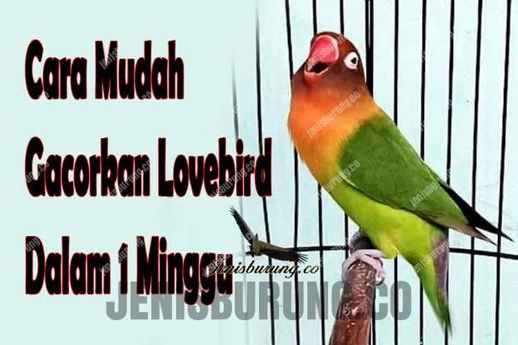 cara mengatasi lovebird macet bunyi dalam 1 minggu