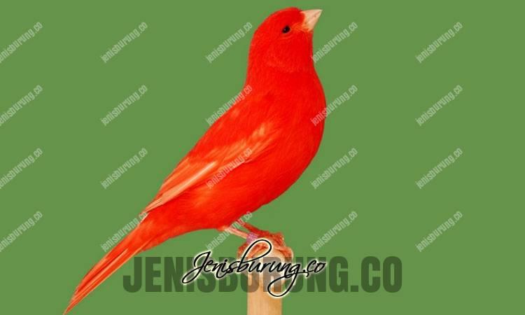 cara mengetahui kenari merah asli, ciri-ciri kenari merah asili, harga kenari merah asli, suara kenari merah gacor, ciri-ciri kenari merah semiran