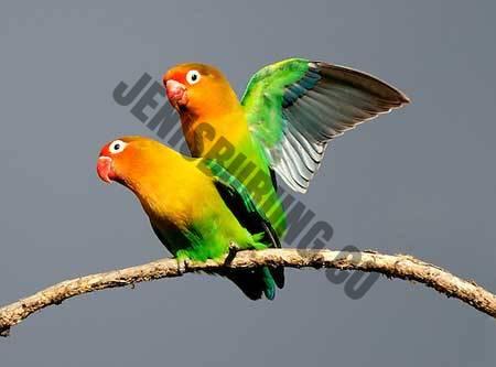 cara meningkatkan birahi lovebird