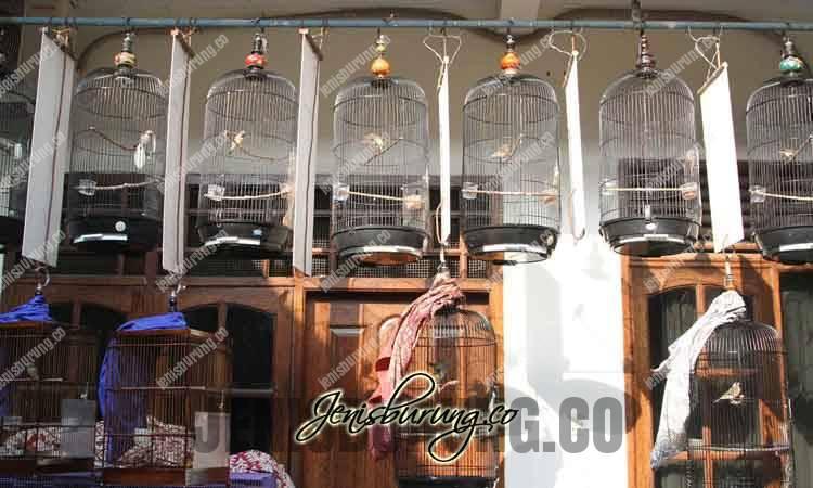 cara menjemur burung di musim hujan, alternatif jemur burung di musim huja, perawatan burung di musim hujan, agar burung sehat di musim hujan