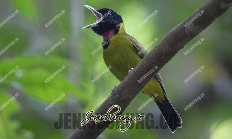 cara merawat samyong, perawatan harian burung samyong, samyong macet bunyi, voer untuk burung samyong, samyong agar cepat gacor, suara burung samyong gacor, agar burung samyong rajin bunyi