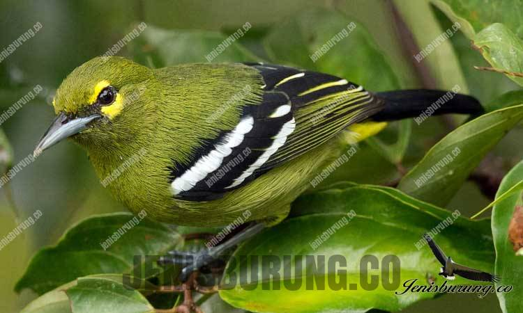 ciri-ciri Cipoh Jantung, Green Iora (Aegithina Viridissima)