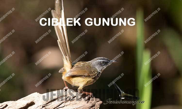 ciri-ciri burung ciblek gunung Prinia superciliaris