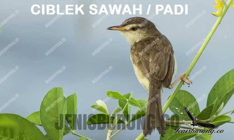 ciri-ciri ciblek sawah Plain Prinia (Prinia inornata)