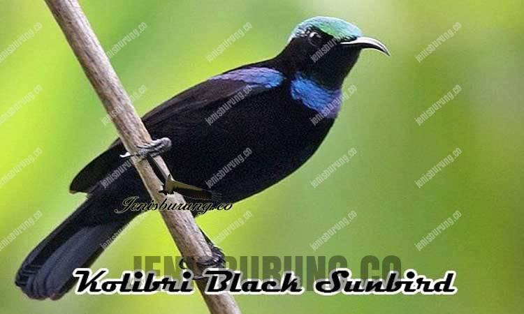 ciri-ciri burung kolibri black sunbird jantan, kolibri hitam gacor, kolibri black sunbird gacor