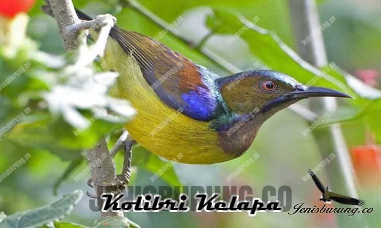 ciri-ciri burung kolibri kelapa jantan