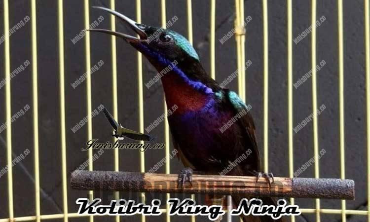 Download suara burung kolibri ninja gacor untuk masteran
