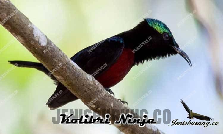 ciri-ciri burung kolibri ninja jantan atau burung madu pengantin jantan