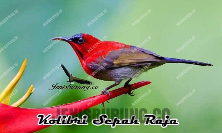ciri-ciri burung kolibri sepah raja jantan