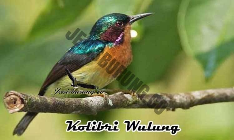 ciri-ciri burung kolibri wulung jantan
