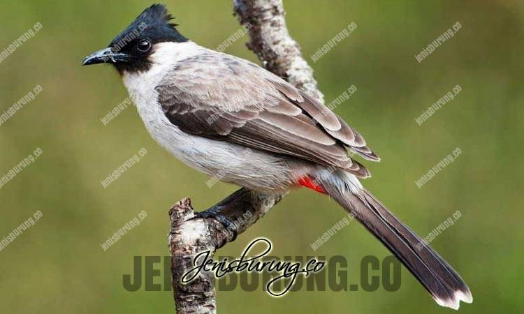 ciri fisik burung kutilang, sooty-headed bulbul, pycnonotus aurigaster, suara burung kutilang, makanan burung kutilang, merawat burung kutilang, harga burung kutilang gacor
