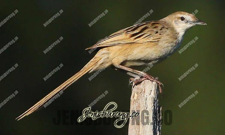 ciri fisik cica-koreng jawa, striated grassbird, megalurus palustris, ciri fisik cica-koreng jawa jantan, ciri fisik cica-koreng jawa betina, cica-koreng jawa jantan dan betina, suara cica-koreng jawa