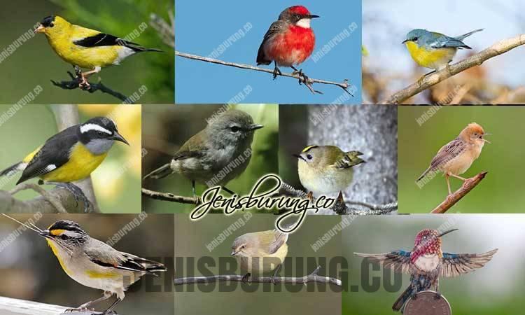 daftar jenis burung kicau terkecil di dunia, jenis burung kicau termahal