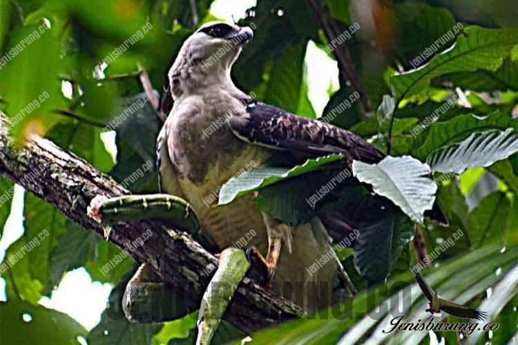 elang papua rajawali papua Harpyopsis novaeguineae papuan eagle