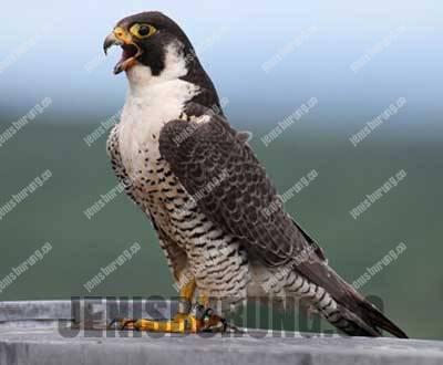 harga alap-alap kawah peregrine falcon