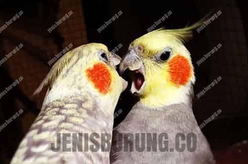 harga burung falk (cockatiel bird)