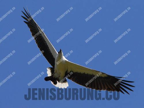 harga elang laut perut putih White-bellied sea eagle