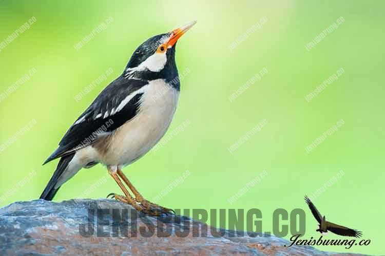 harga burung jalak suren pied myna asian pied starling