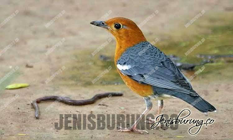 jenis burung, burug kicau, burung anis merah gacor dan ngeplong, anis merah gacor dan teler, racikan pakan anis merah, racikan pakan burung anis merah, pakan anis merah, makanan anis merah