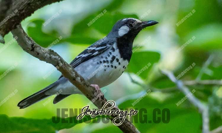 jenis burung anis, burung anis tanimbar, cara merawat anis tanimbar, anis tanimbar jantan dan betina, suara anis tanimbar, anis tanimbar gacor